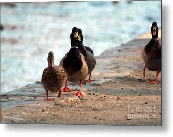 Duck Walk Metal Print