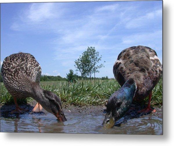 Ducks Eye View Metal Print