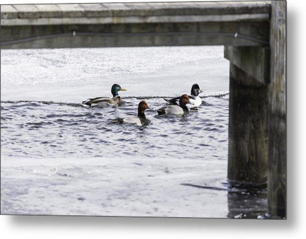 Ducks Under The Dock  Metal Print