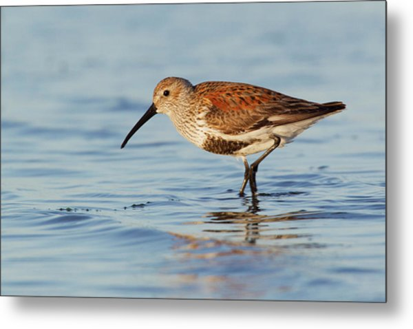 Dunlin Metal Print by Ken Archer