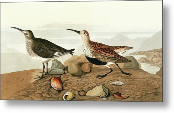 Dunlins Metal Print by Natural History Museum, London/science Photo Library