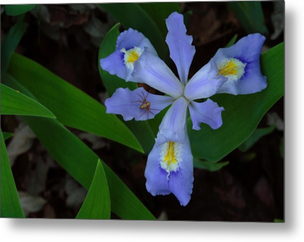 Metal Print featuring the photograph Dwarf Crested Iris With Spider by Daniel Reed