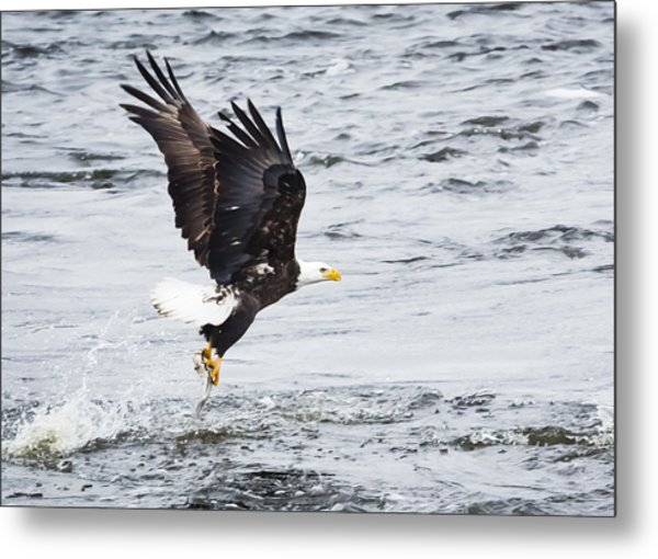 Eagle Hunting On The Wisconsin River Metal Print by Ricky L Jones