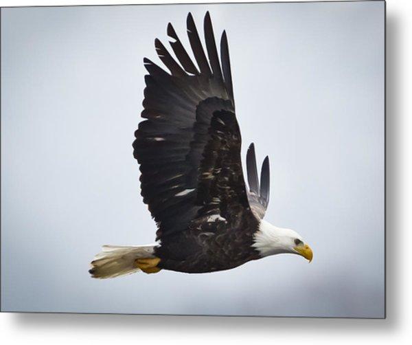 Eagle In Flight Metal Print by Ricky L Jones