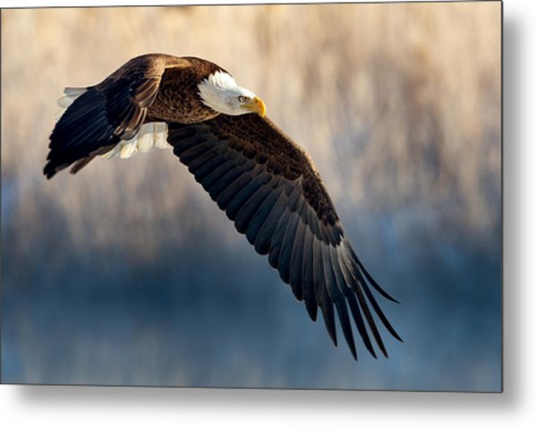 Eagle Sore Metal Print