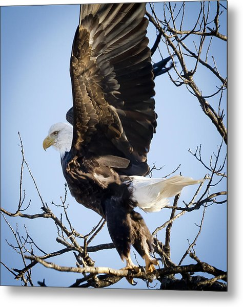Eagle Taking Off Metal Print by Ricky L Jones
