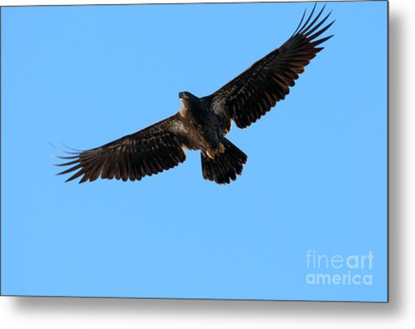 Eagle Wings Metal Print