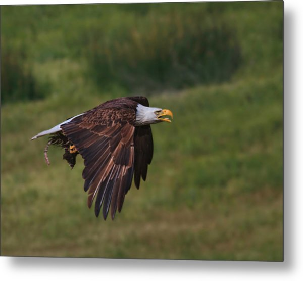 Eagle With Prey Metal Print