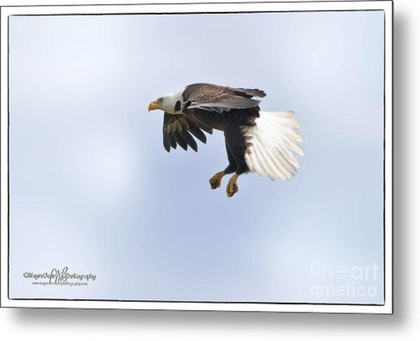 Eaglelanding Approach Metal Print by Wayne Bennett