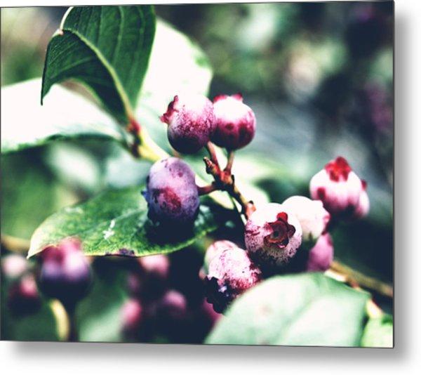 Early Blueberries Metal Print
