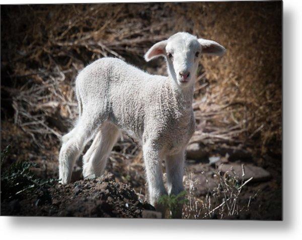 March Lamb Metal Print