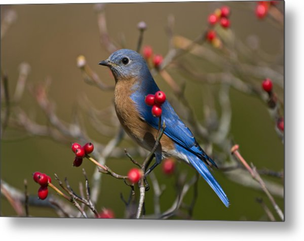 Eastern Bluebird - 2531 Metal Print