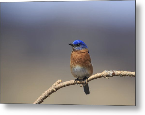 Eastern Bluebird 3 Metal Print
