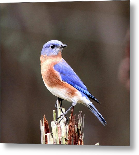Eastern Bluebird - The Old Fence Post Metal Print
