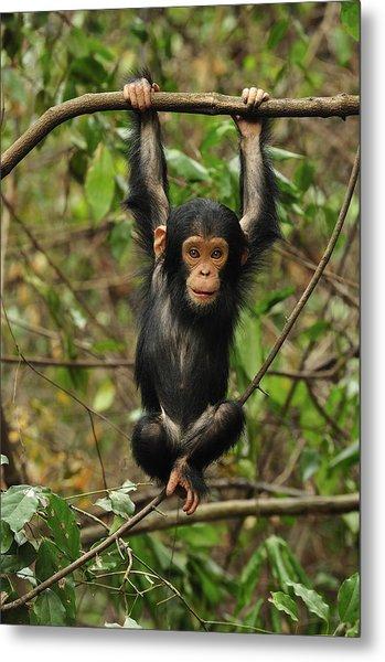 Eastern Chimpanzee Baby Hanging Metal Print