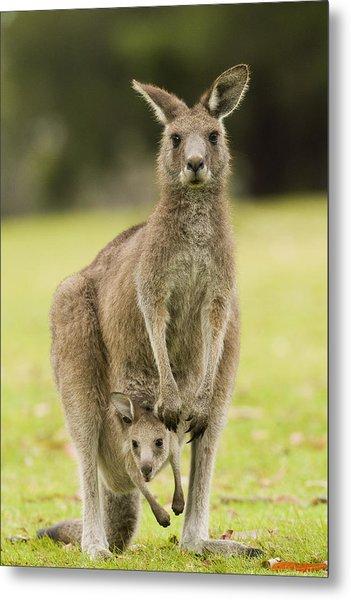 Eastern Grey Kangaroo With Joey Peering Metal Print