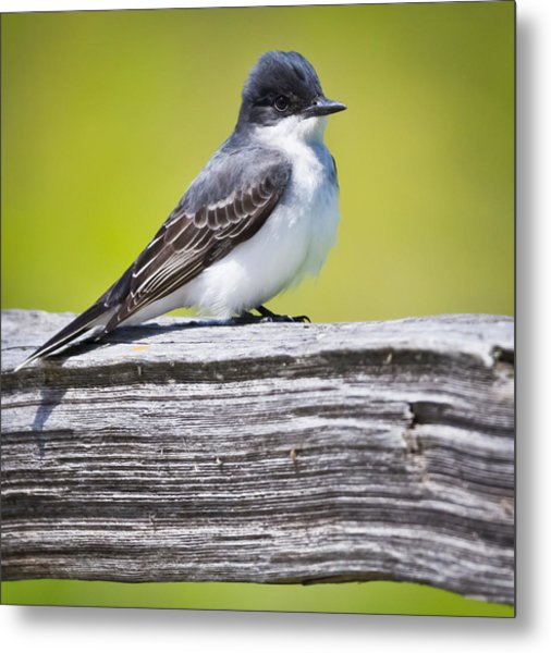 Eastern Kingbird Metal Print by Ricky L Jones