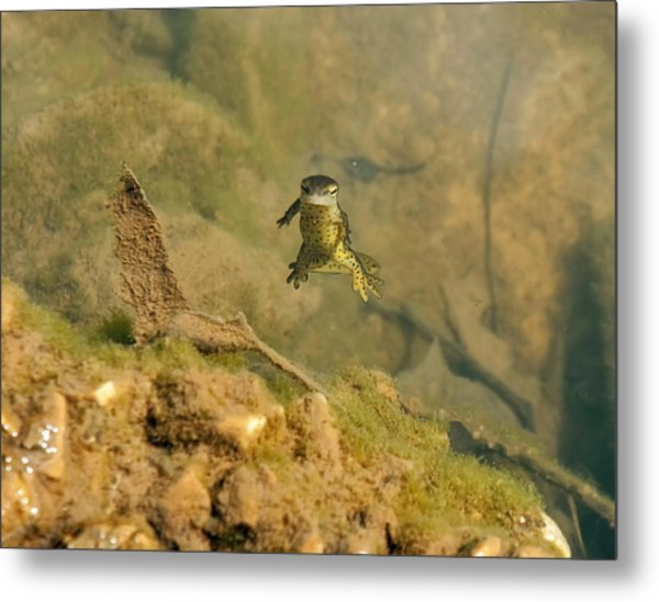 Eastern Newt In A Shallow Pool Of Water Metal Print