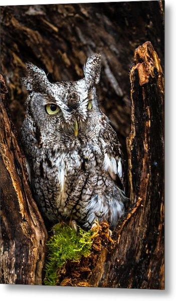 Eastern Screech Owl Metal Print by Craig Brown