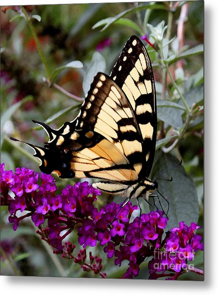 Eastern Tiger Butterfly Metal Print