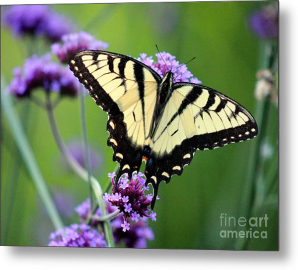 Eastern Tiger Swallowtail Butterfly 2014 Metal Print
