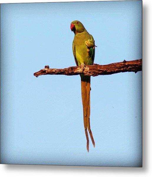 Parakeet Eating Fruit  Metal Print
