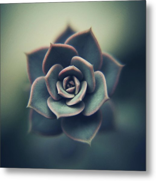 Echeveria Macro Metal Print by Con Ryan