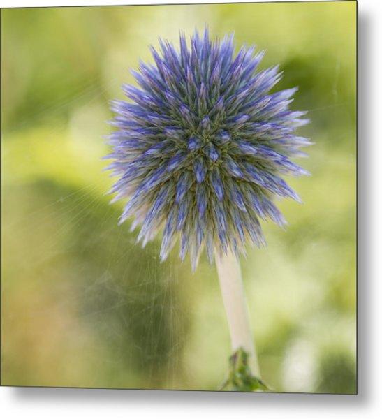 Echinops Blue Metal Print