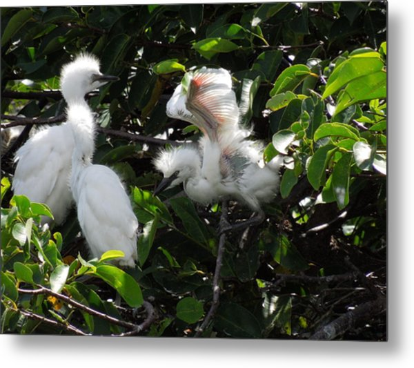 Egret Chicks Metal Print