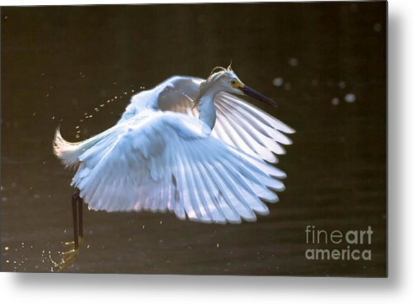 Egret In Flight II Metal Print