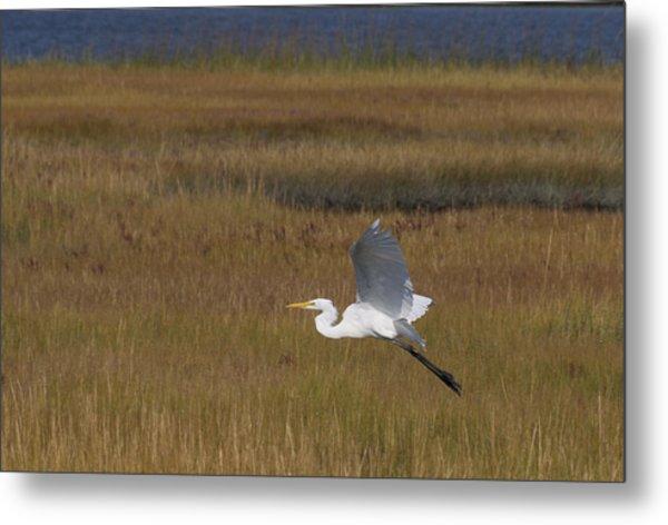 Egret In Flight Over Swamp Grass Metal Print