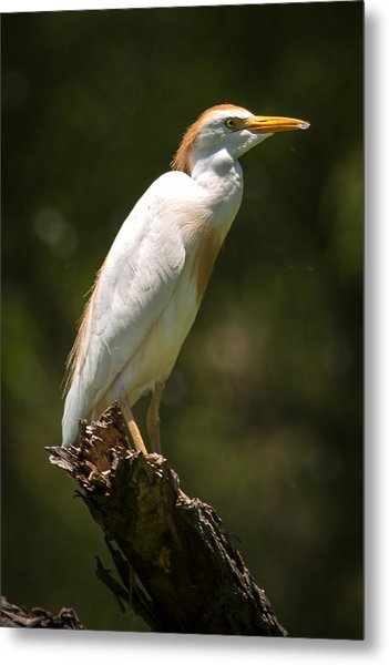Cattle Egret Perched On Dead Branch Metal Print