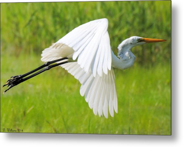 Egret Takes Flight Metal Print