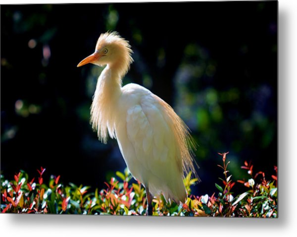 Egret With Back Lighting Metal Print