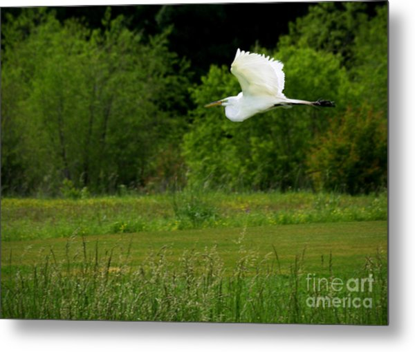 Egret's Flight Metal Print