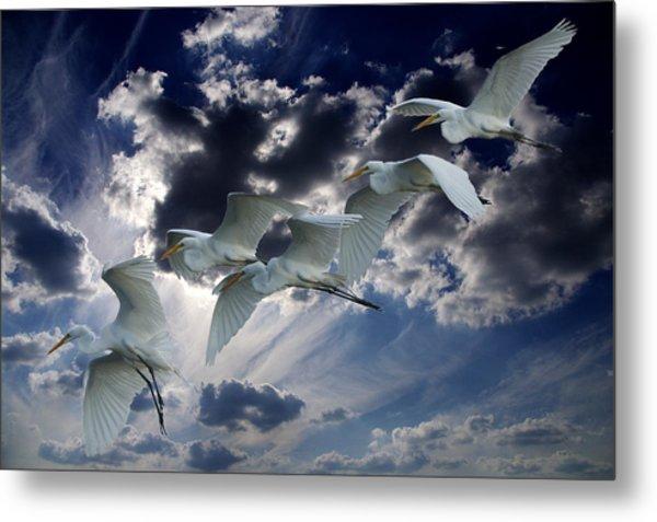 Egrets In Succession Metal Print