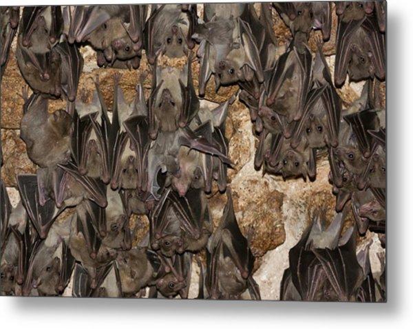Egyptian Fruit Bat Rousettus Aegyptiacus Metal Print