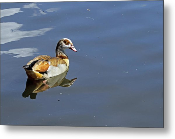 Egyptian Goose Metal Print