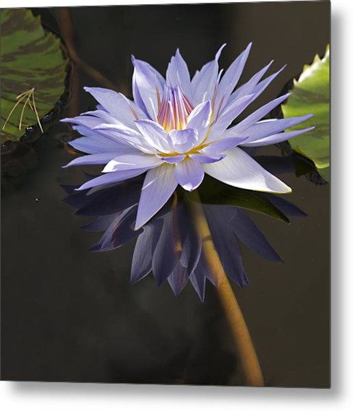 Electric Blue Pond Lilly Metal Print