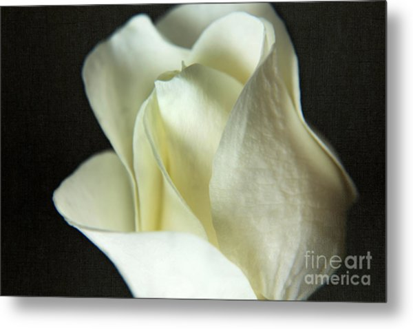 Elegant White Rose Textured Metal Print
