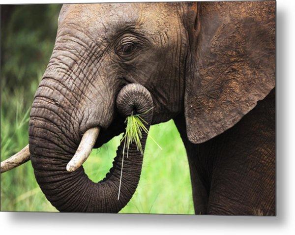 Elephant Eating Close-up Metal Print