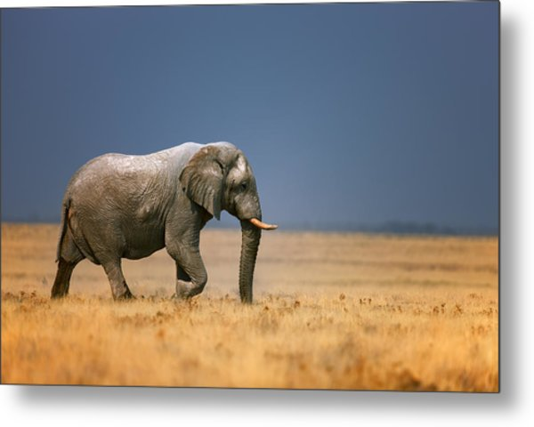 Elephant In Grassfield Metal Print