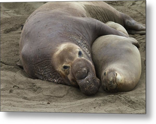 Elephant Seal Couple Metal Print