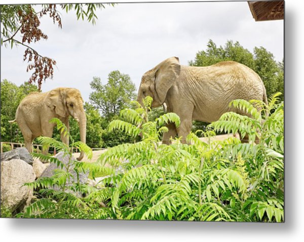 Elephants Thika And Toka At The Toronto Zoo Metal Print