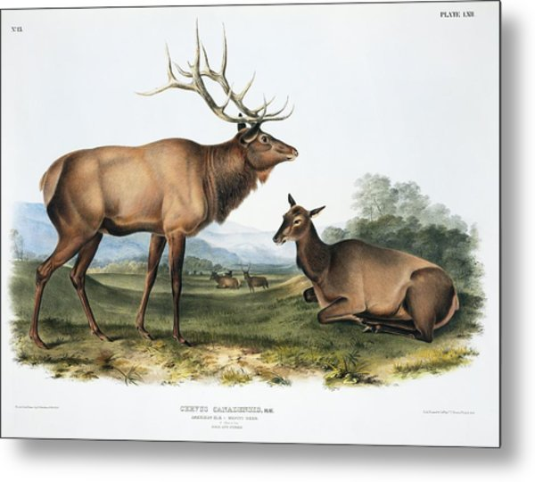 Elk, 19th Century Artwork Metal Print by Science Photo Library
