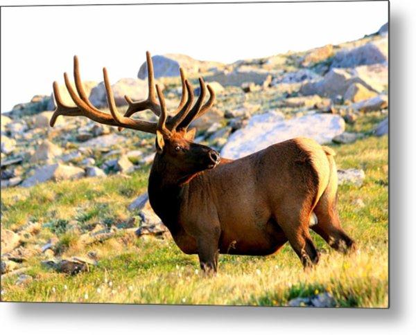 Elk 7 Point Giant Metal Print by Rebecca Adams