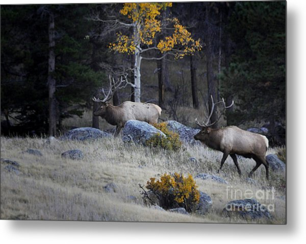 Elk Battle Stalk Metal Print