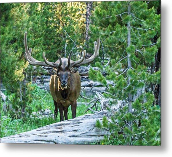 Elk Eyes Metal Print