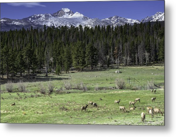 Elk In Meadow Metal Print by Tom Wilbert