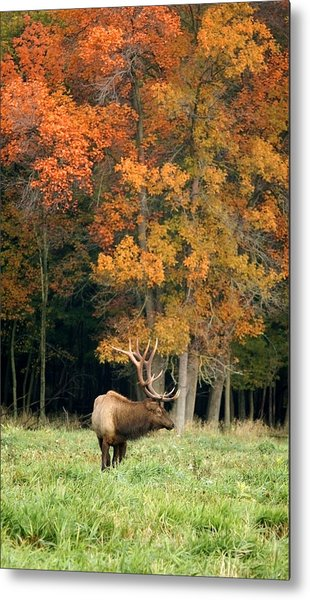 Elk With Autumn Colors Metal Print